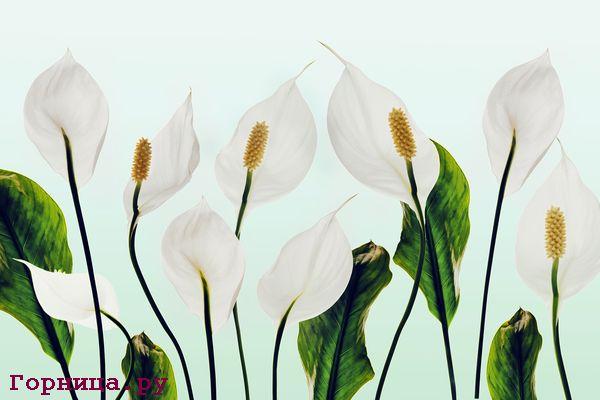 Спатифиллум. Женский цветок счастья. Шепотки на удачу https://gornnisa.ru/