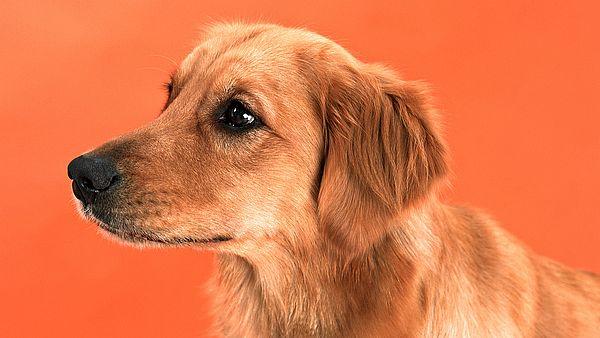 3 Оранжевый пес