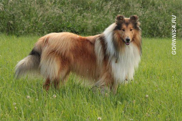 #4 Шотландская овчарка